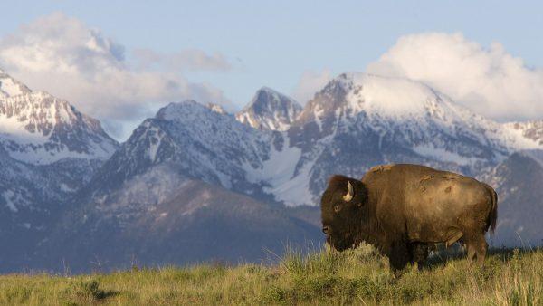 buffalo-wallpaper-HD9-600x338