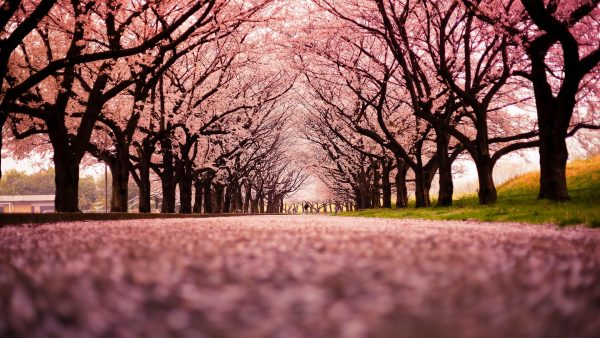 cherry-blossom-tree-wallpaper-HD5-600x338
