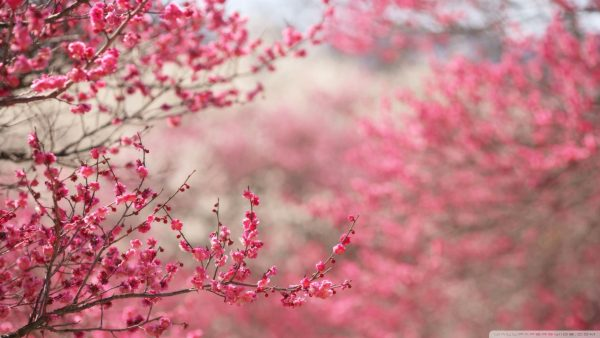 cherry-blossom-tree-wallpaper-HD6-600x338