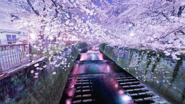 cherry-blossom-tree-wallpaper-HD7-600x338