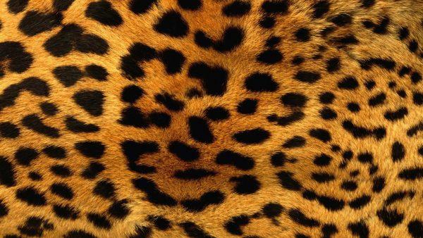 giraffe-print-wallpaper-HD3-600x338
