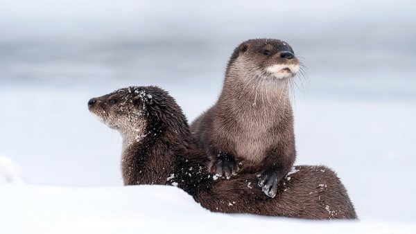 otter-wallpaper-HD10-600x338