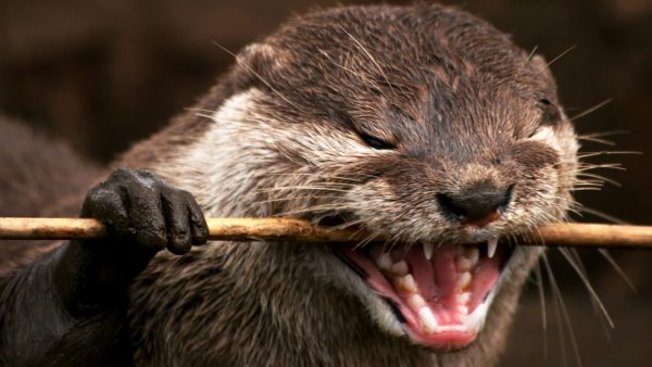 otter-wallpaper-HD5-600x338
