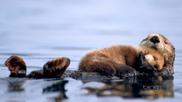 otter-wallpaper-HD7-600x338