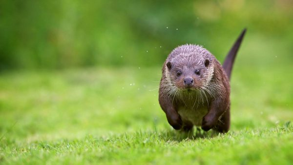 otter-wallpaper-HD9-600x338