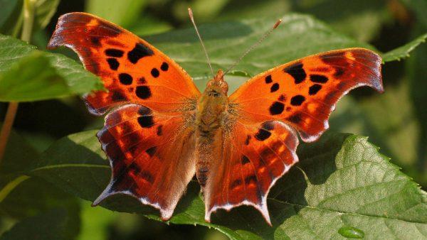 butterfly-live-wallpaper9-600x338