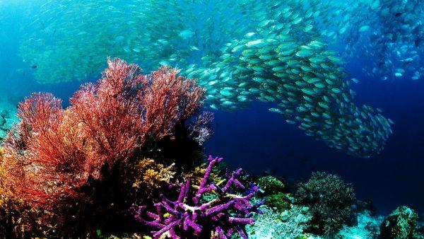 coral-wallpaper8-600x338