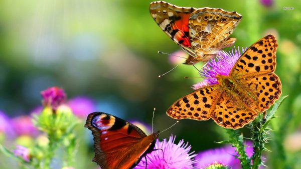 butterfly-wallpaper-for-android6-600x338