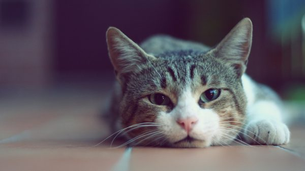cat-wallpaper-for-walls98-600x338