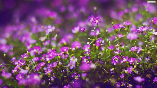 purple-flowers-wallpaper2-600x338