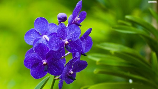 purple-flowers-wallpaper3-600x338