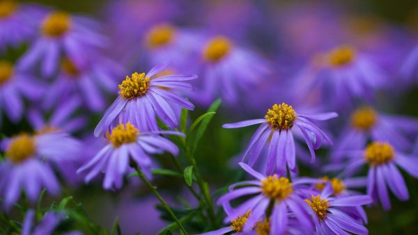 purple-flowers-wallpaper4-600x338