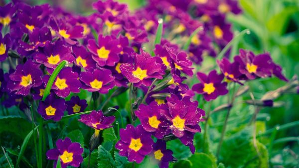 purple-flowers-wallpaper5-600x338
