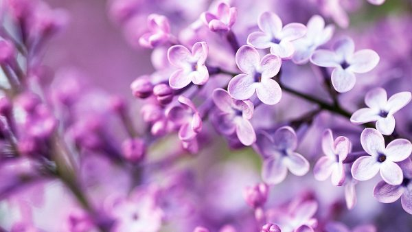 purple-flowers-wallpaper6-600x338