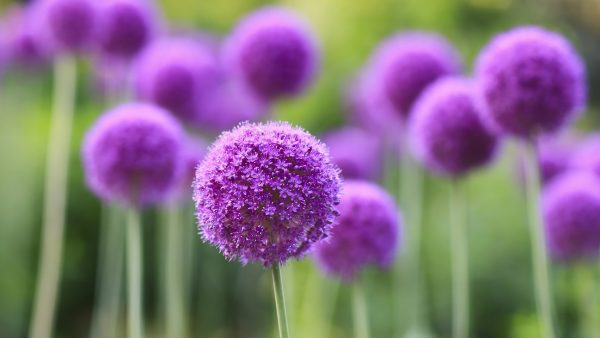 purple-flowers-wallpaper9-600x338