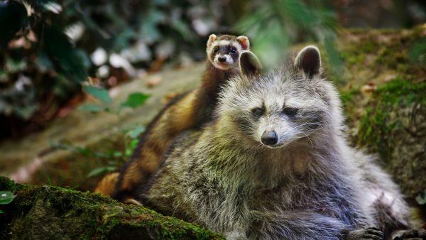 raccoon-wallpaper4-600x338