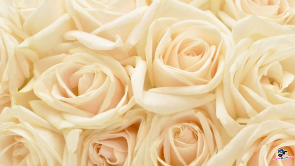 roses-wallpaper-tumblr4-600x338