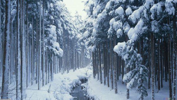 winter-forest-wallpaper6-600x338