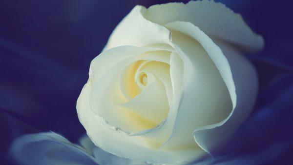 white-rose-wallpaper4-600x338