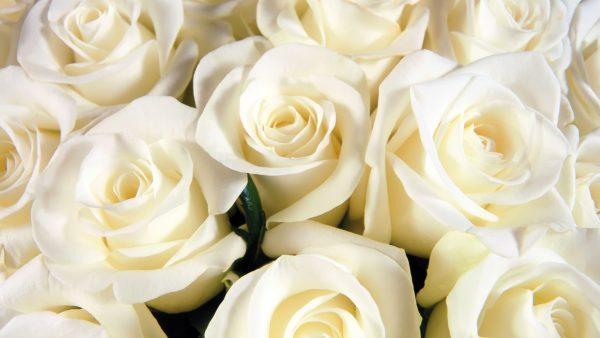 white-rose-wallpaper8-600x338
