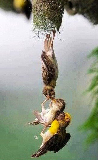"""""""Fascinating-Pictures-Baby-bird-being-saved-after-falling-from-the-nest-""""-Owain-Hackling-wallpaper-wp5004094"""