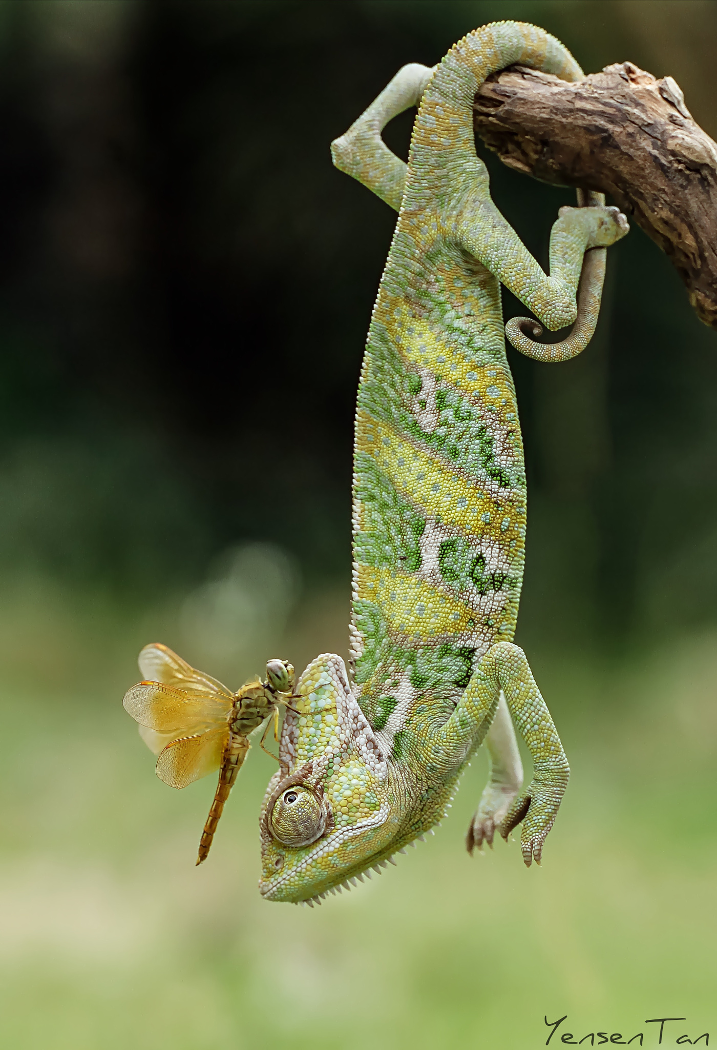 A-Veiled-Chameleon-With-Dragonfly-Atop-His-Head-Photo-By-Tantoyensen-on-px-wallpaper-wp5004228