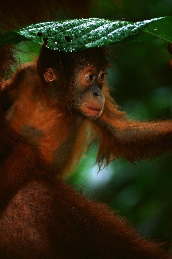 A-baby-orangutan-holding-a-leaf-over-its-head-during-a-rainstorm-wallpaper-wp5004164