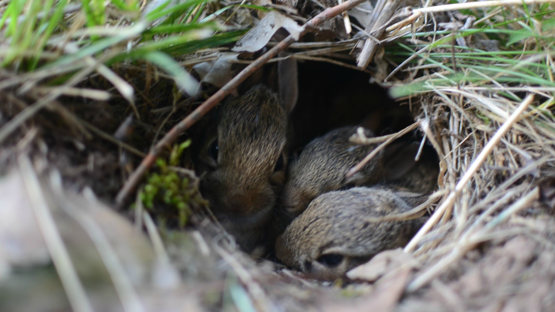 A-clutch-of-baby-rabbits-wallpaper-wp3402060