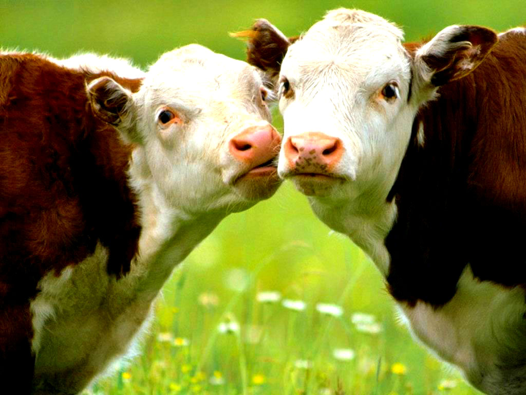 A-cow-has-been-graciously-provided-by-Yarc-Farms-and-will-be-ready-for-a-big-kiss-from-Ms-Descripti-wallpaper-wp5203658
