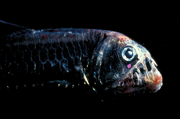 A-deep-sea-viperfish-wallpaper-wp3002862