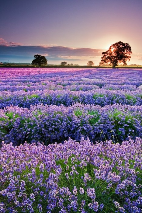 Amazing-color-from-lavender-fields-Provence-France-wallpaper-wp5602838
