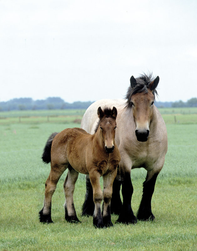 An-unusual-breed-The-Brabant-draft-horse-is-the-foundation-horse-for-the-American-Belgian-Until-ab-wallpaper-wp5004505