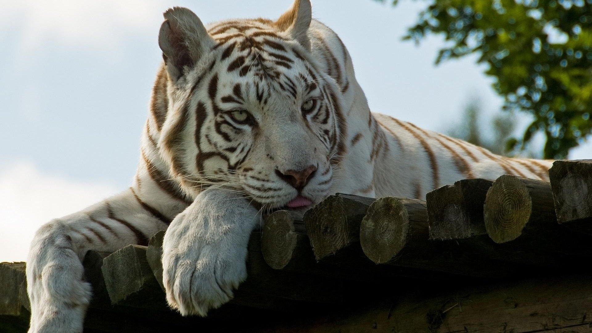 Animals-tigers-white-tiger-wood-panels-1920x1080-wallpaper-wp3402430