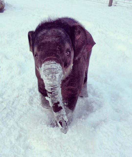 Baby-elephant-in-the-snow…-wallpaper-wp423882-1