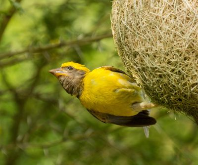 Baya-weaver-male-busy-making-nest-free-download-write-up-s-wallpaper-wp5803845