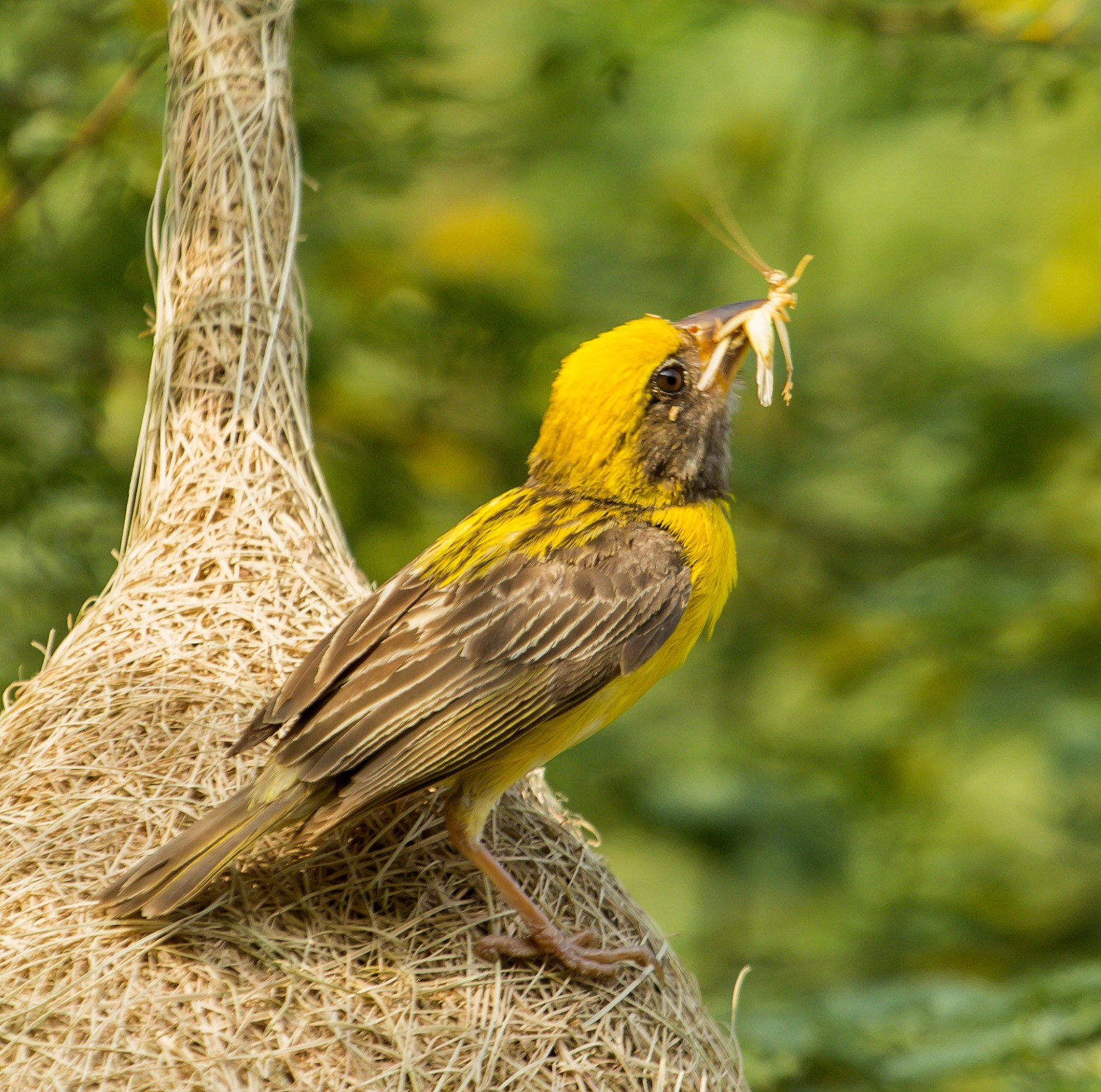 Baya-weaver-with-insect-prey-picture-gallery-from-bird-and-w-wallpaper-wp5803846