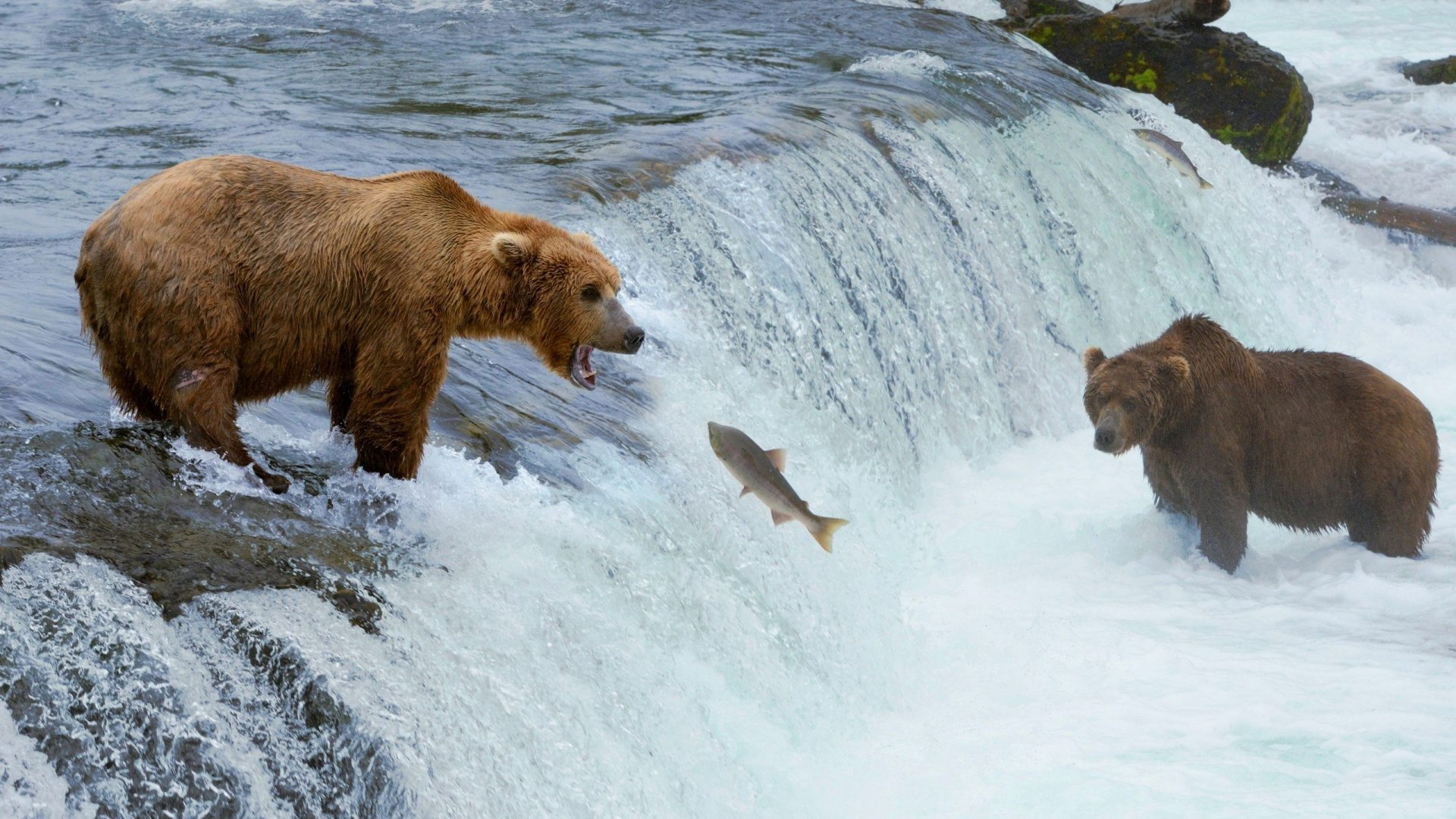 Bear-Hunting-Fish-1920-x-1080-Need-iPhone-S-Plus-Background-for-IPhoneSPlus-Fo-wallpaper-wp3402968