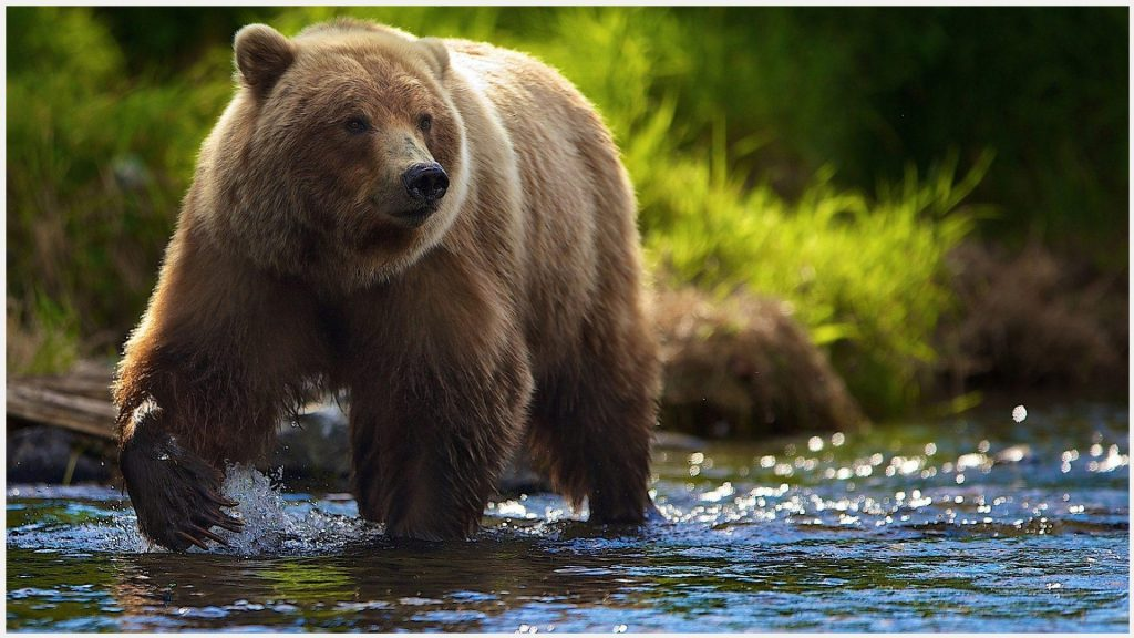 Bear-In-Water-HD-bear-in-water-hd-1080p-bear-in-water-hd-desktop-b-wallpaper-wp3402970