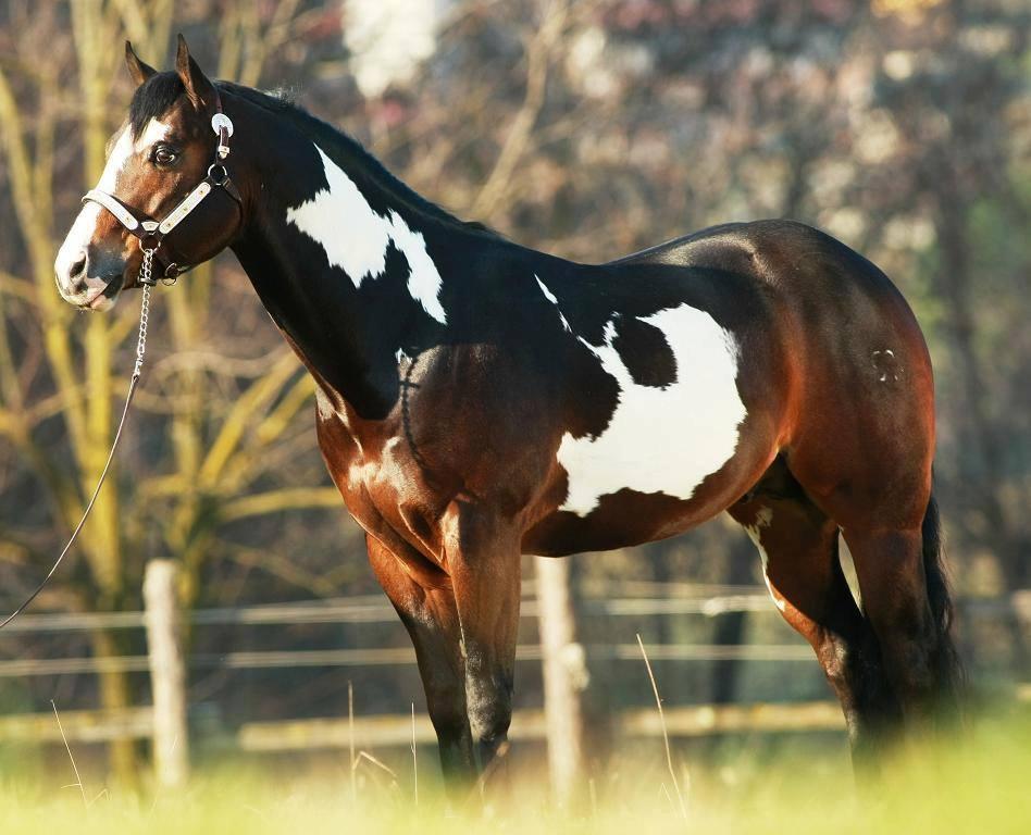 Beautiful-Bay-Paint-Horse-wallpaper-wp4804566