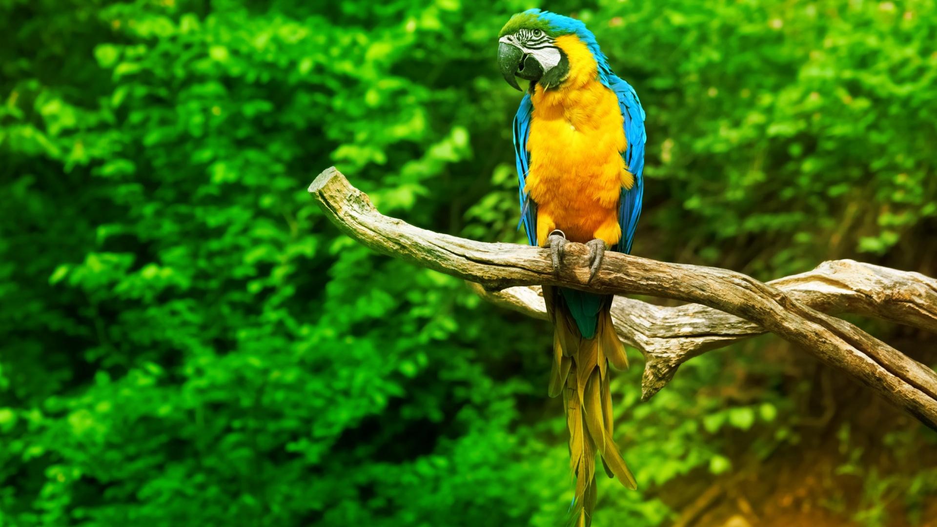 Beautiful-Parrot-1920-x-1080-wallpaper-wp3403024