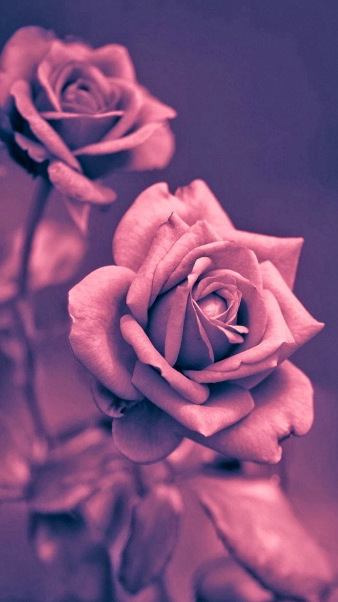 Beautiful-Pink-Rose-Closeup-iPhone-wallpaper-wp3403027