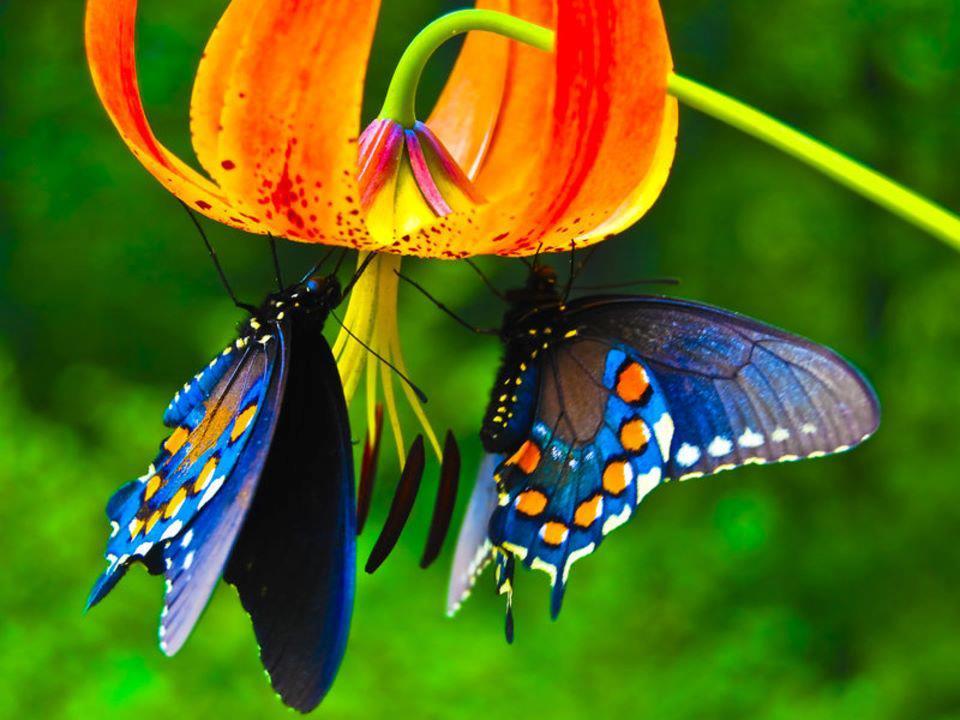 Beautiful-butterflies-for-you-background-wallpaper-wp423974-1
