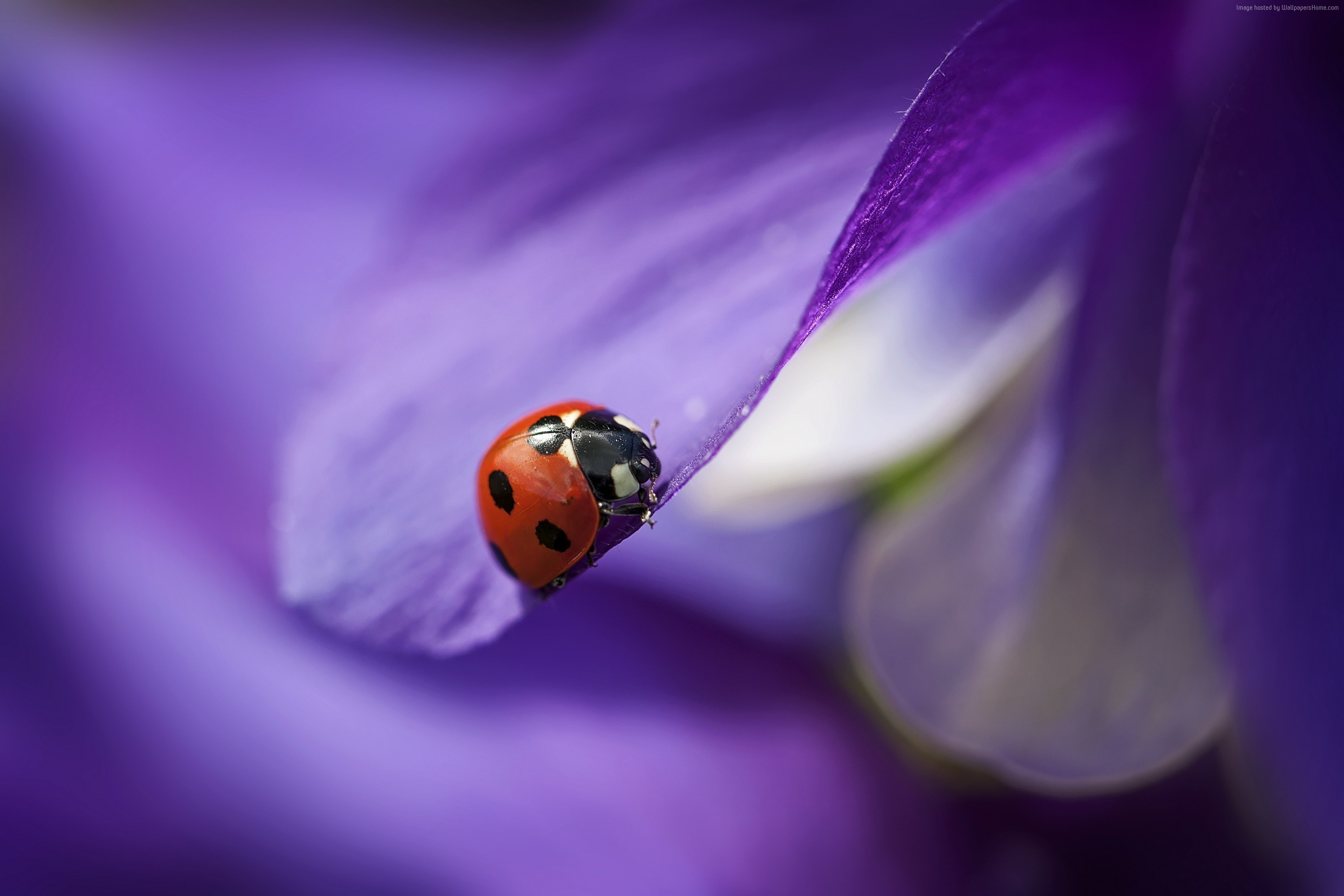 Beautiful-ladybug-on-a-purple-petal-Beautiful-Macro-HD-Download-for-iPad-an-wallpaper-wp3603078