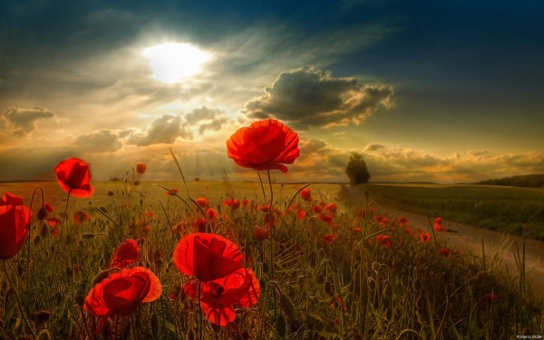 Beautiful-red-flowers-with-an-amazing-sunset-for-your-desktop-wallpaper-wp423996-1
