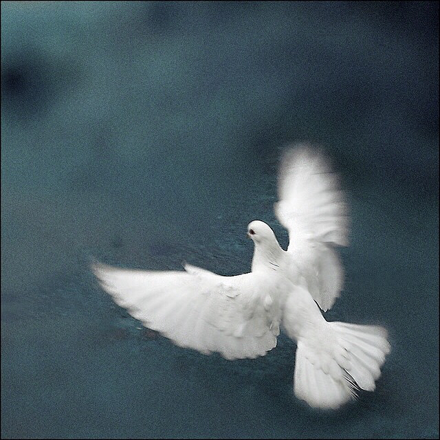 Beautiful-white-dove-wallpaper-wp5803908