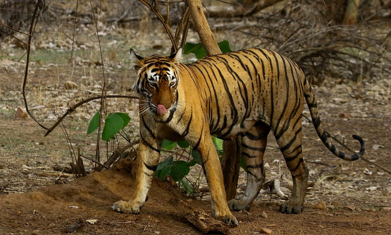 Bengal-Tiger-T-Ranthambhore-National-Park-Picture-Story-wallpaper-wp5803945