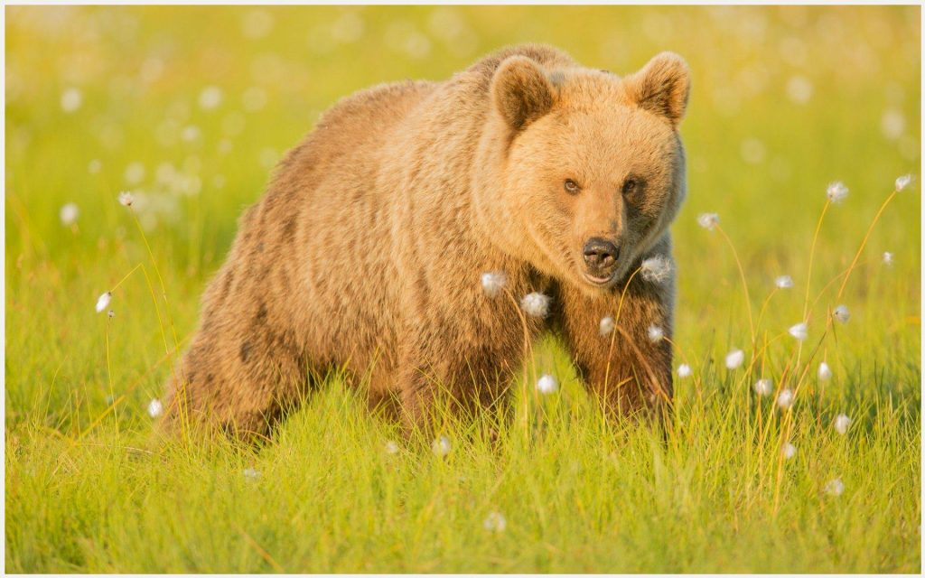 Big-Brown-Bear-big-brown-bear-1080p-big-brown-bear-desktop-big-bro-wallpaper-wp3403228