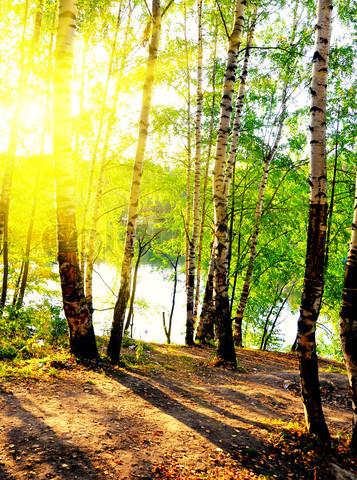 Birch-trees-in-a-summer-wallpaper-wp5603403