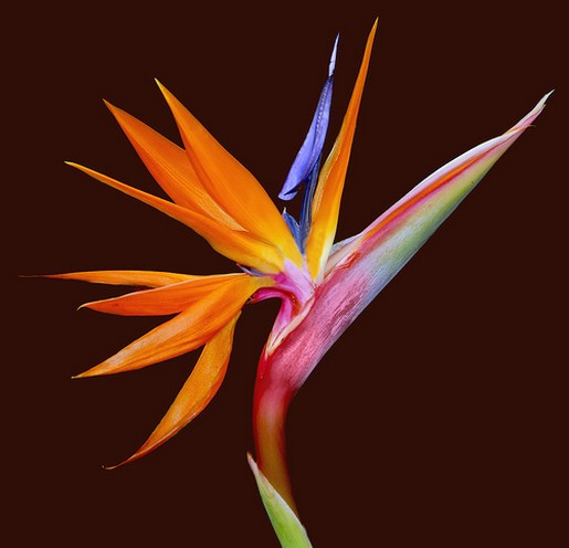 Bird-of-Paradise-Flower-Strelitzia-It-belongs-to-the-plant-family-Strelitziaceae-wallpaper-wp4003543