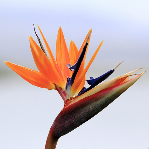 Bird-of-Paradise-Flower-magnificence-wallpaper-wp4003546